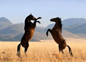 Приемы выращивания табунных лошадей