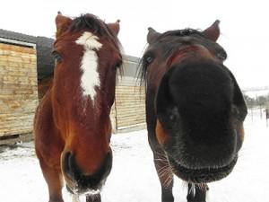 Таврение лошадей