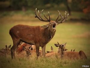 Размер стада оленей