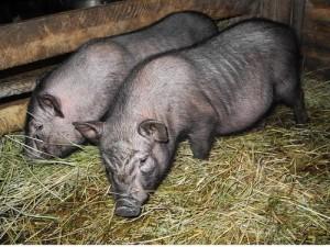 Содержание-вьетнамских-свиней