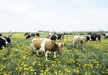 развитие-мясного-скотоводства