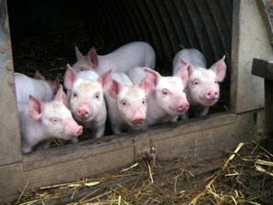 ферма-свинья