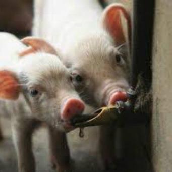Поилка для свиней фото