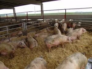 Granjas-de-cerdos
