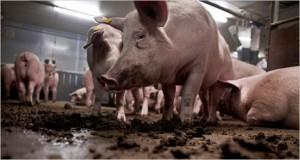 cerdos-granjas-industriales