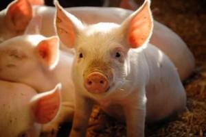 fermerstvo-svinovodstvo-khozjajstvo