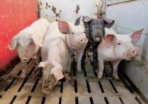 svinovodstvo-interesnye-fakty-o-svinjah