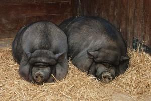 Вьетнамские-свиньи