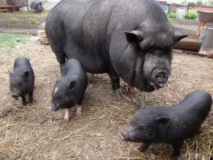 Разведение-Вьетнамских-свиней