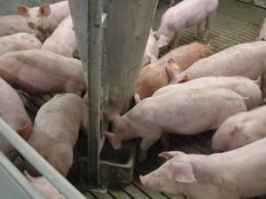 Технологии-откорма-свиней-300x224