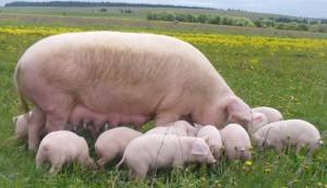 свиньи-крупной-большой-породы