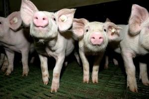 SchweineBild