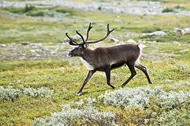 275px-20070818-0001-strolling_reindeer
