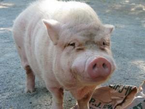 Pig+007