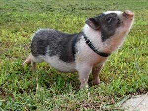 Pig-300x225