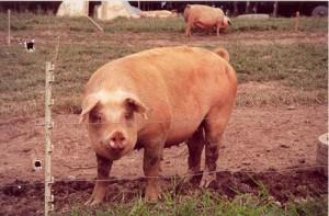 Produção de suínos ao ar livre