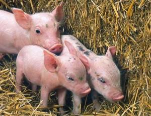 pig-genetic-alteration-inherited