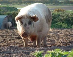 pigs-11