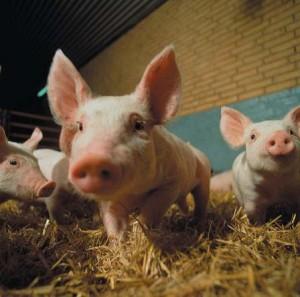 pigsporxes