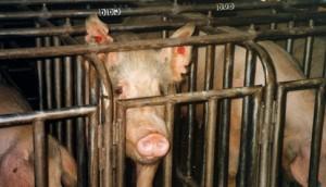 unichtozheniem-otrasli-svinovodstva-v-rf-grozit-achs-rosselhoznadzor