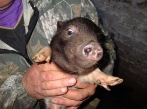 vetnamskie-vislobryuhie-svini-kupit
