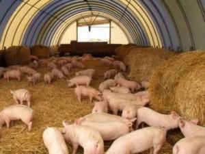 На Ставрополье развивается свиноводство