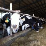 В Приморье планируется развивать молочное животноводство