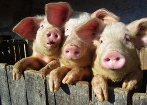 В Омске животноводам удалось вывести новую породу свиней