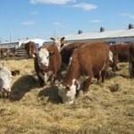 В Челябинской области не прекращается развитие отрасли животноводства