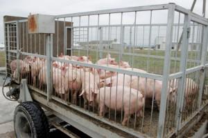 Рост  уровня свинины  в текущем году составит 300 тысяч тонн